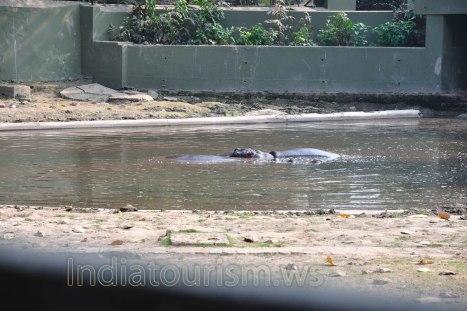 Zoo - Hippopotamus