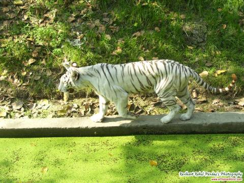 Zoo - white tiger